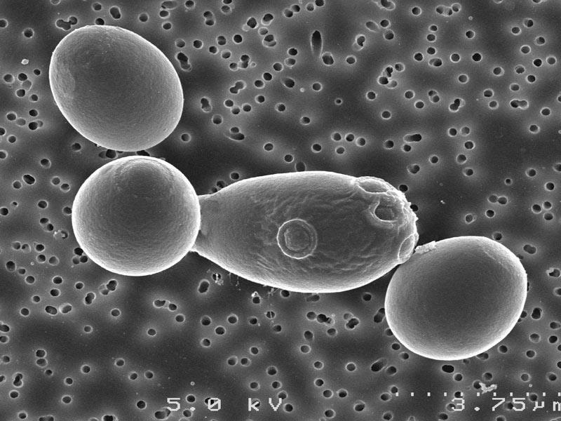 Saccharomyces cerevisiae boulardii