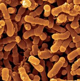 Bifidobacterium infantis lactobacillus gasseri valmiste